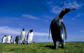 Irene Hinke-Sacilotto - penguin