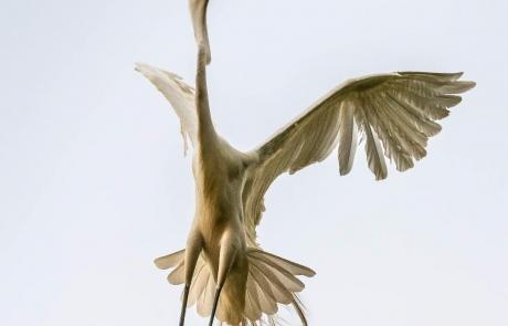 NWalthall egret